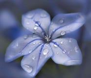 Dew drops on light blue flower