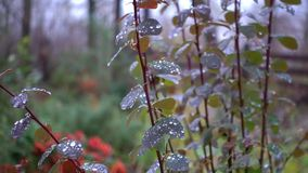 Morning condensation of water on leaves and stems. Dew drops in the morning on the stems of grass. Morning condensation of water on leaves and stems stock video footage