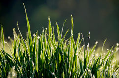 Dew drops Stock Images