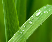 Dew Drops On Cereal Leaf Stock Photo