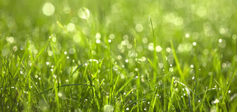 Dew Drops On Green Graas. Close-up Stock Images