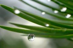 Dew Drops On Pine Needles Stock Photos