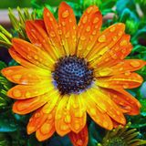 Dew drops on orange flower Stock Images