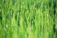 Dew drops on paddy field Stock Image