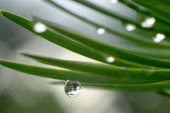 Dew drops on pine needles Stock Photos
