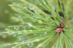 Dew drops on pine needles Royalty Free Stock Image