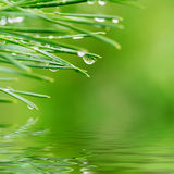 Dew drops on pine needles. Close up of morning dew drops on green pine needles reflected in rendered water stock photo