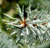 Dew drops on the pine spruce needles Stock Photos