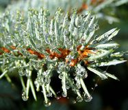 Dew drops on the pine spruce needles Stock Images