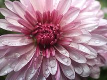 Dew drops on a pink flower Royalty Free Stock Photos