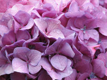 Dew Drops Pink Hydrangea Flower Blossoms Stock Photography