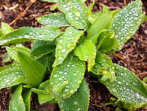 Dew Drops. On plant leaves Royalty Free Stock Photo