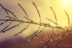 Dew drops on plant at sunrise. Royalty Free Stock Photo