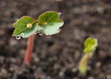 Dew drops on plantlet Stock Images