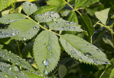 Dew drops. Prolapsed morning dew on the leaves of plants. summer royalty free stock photo