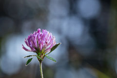 Dew drops on purple clover. Stock Photography