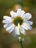 Dew drops, rain on a flower camomile Royalty Free Stock Photos