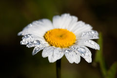 Dew drops, rain on a flower camomile Royalty Free Stock Photo