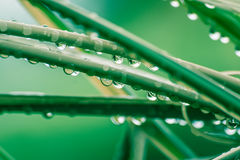 Dew Drops on Rattan Reed. Early morning water droplet on Rattan leaf Royalty Free Stock Image
