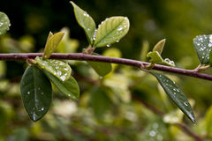 Dew drops on real leaf Royalty Free Stock Photo