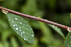 Dew drops on real leaf Stock Image