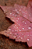 Dew drops on a red maple leaf Stock Images