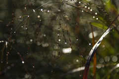 Dew Drops. Reflecting the morning sun Royalty Free Stock Images