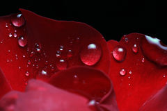 Dew drops on rose. Petal Royalty Free Stock Image