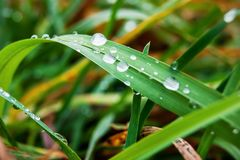 Dew drops sparkle on the leaves of the green plant_ Stock Image