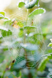 Dew drops on a spider web Stock Photos