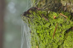 Dew drops on a spider web on a tree with a green bark Royalty Free Stock Image