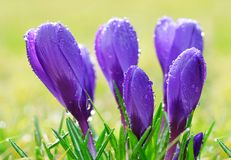 Dew drops on spring flower crocus. Stock Images