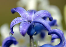 Dew drops on a spring flower Hyacinth. Stock Images