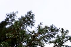 Dew drops on spruce branches. Dew drops close up. Thaw royalty free stock photos