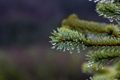 Dew drops on spruce needles Royalty Free Stock Photo
