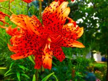 Dew drops On Tiger Lily (Lilium tigrinum). Dew drops on blossom of Tiger Lily (Lilium tigrinum Stock Photography