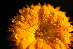 Dew drops on a yellow flower. Dew drops  yellow flower love purity tranquil fresh freshness beauty nature macro rain rainy petal filament nectar royalty free stock images