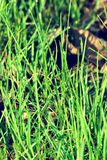 Dew drops on a young green grass royalty free stock photos