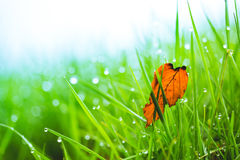 Dew and dry leaf drops on bright green grass. Background of dew drops and dry leaf on bright green grass Stock Image