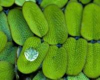 Dew on the duckweed stock photo
