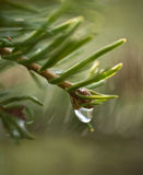 Dew On Evergreen Branch Royalty Free Stock Photo