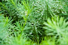 dew on evergreen macro Royalty Free Stock Photos