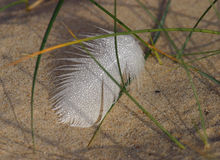 Dew on Feather. Macro of dew droplets on a white feather in dunes royalty free stock photo