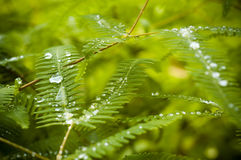 Dew on Fern. Green fern leaves with morning dew Royalty Free Stock Image