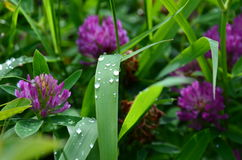 Dew. Field, blade of grass, clover, morning, summer Stock Photography