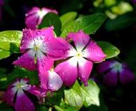 Dew Flower Royalty Free Stock Photo