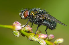 Dew fly Stock Image