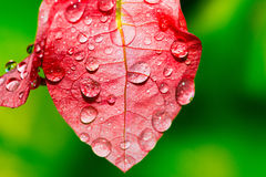 Dew forming on a leaf colorful pink - stock image Royalty Free Stock Images