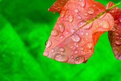 Dew forming on a leaf colorful pink - stock image Royalty Free Stock Photo