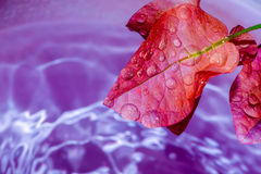 Dew forming on a leaf colorful pink - stock image Royalty Free Stock Photography